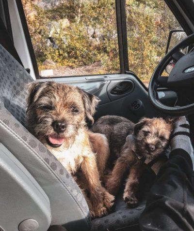 Kaksi borderterrieriä matkailuauton etupenkillä.