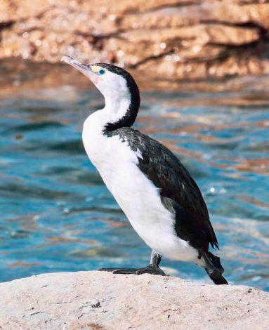 lintu Kaikouran merenrantakallioilla.