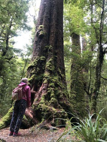 retkeilijä suuren pyökkipuun juurella Uudessa-Seelannissa.