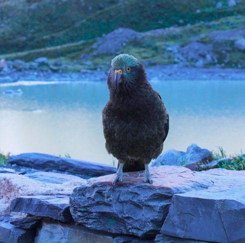 kea-papukaija, Uusi-Seelanti.