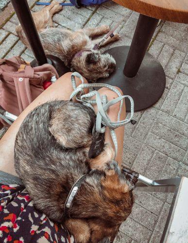kaksi nukkuvaa borderterrieriä terassilla.