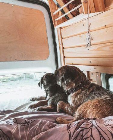 kaksi borderterrieriä campervanin sängyllä.