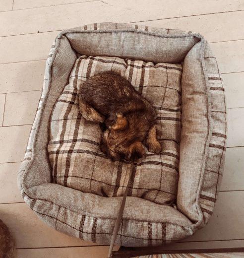 borderterrierin pentu nukkumassa koiranpedillä Hotelli Punkaharjun ravintolassa.