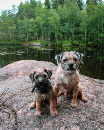 Kaksi borderterrieriä istuu rantakalliolla Repoveden kansallispuiston maisemissa.