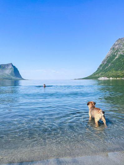 Borderterrieri katselee uimaria vuonon rannalla Senjalla.