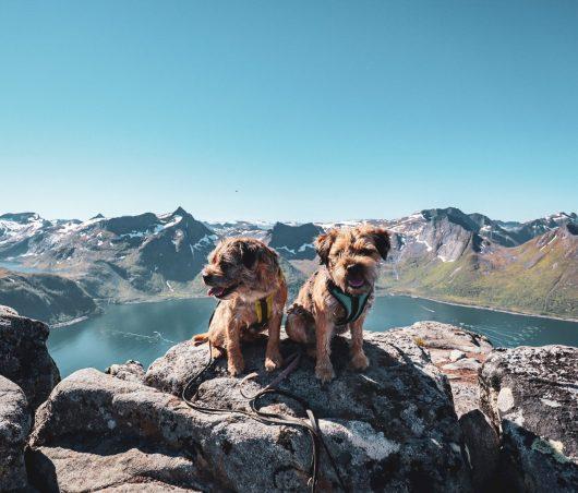 Kaksi borderterrieriä Barden-vuoren huipulla.