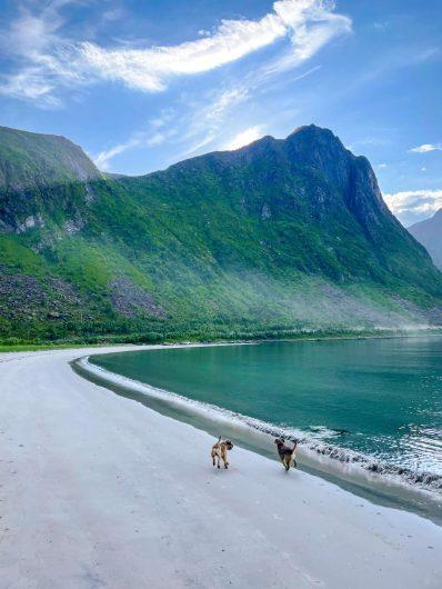 Kaksi borderterrieriä juoksee Steinfjordissa vuonon rannalla.