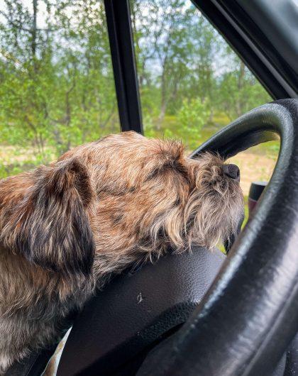 Borderterrierin nukkuva pää nojaa auton rattia vasten.