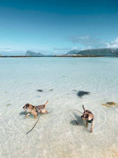 Kaksi borderterrieriä kahlaamassa Sommarøyn saaren kirkkaissa rantavesissä.