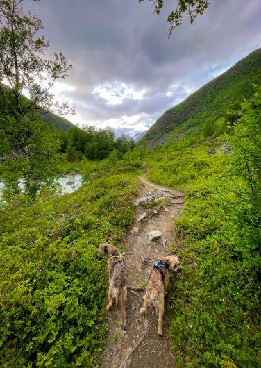 kaksi borderterrieriä kävelee vehreissä laaksomaisemissa.