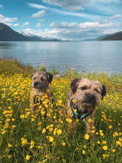 kaksi borderterrieriä kukkakedolla vuonon rannalla.