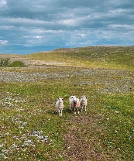 Kolme lammasta tuijottaa kohti kameraa.