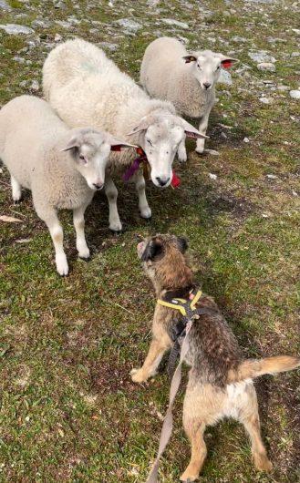 Borderterrieri Torres tervehtimässä kolmea lammasta.