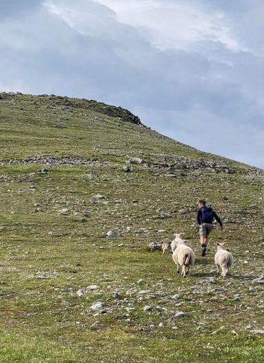 Retkeilijä ja borderterrieri juoksevat lampaita pakoon vuoren rinteellä.