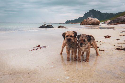 Borderterrierit Vasco ja Torres Bleikin rannalla.