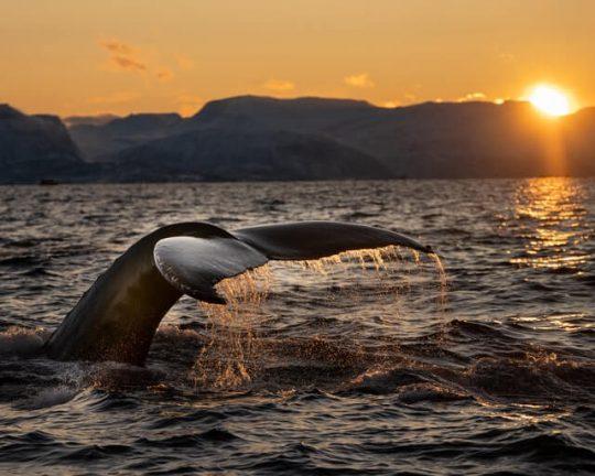 valaan pyrstö sen sukeltaessa mereen auringonlaskussa.