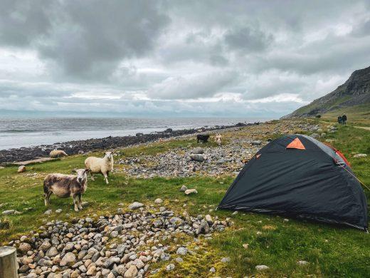 Teltta ja lampaita Unstadin rannalla.