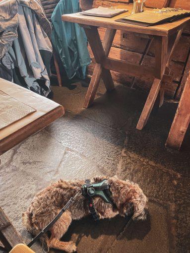 Borderterrieri Vasco lepäilee ravintolan lattialla.