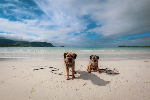 Borderterrierit Torres ja Vasco Rambergin rannalla.