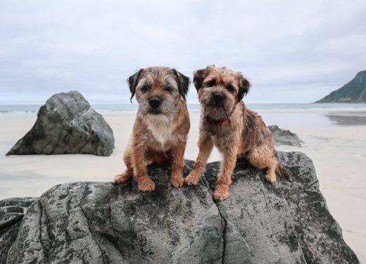 Kaksi borderterrieriä Skagsanden-rannan rantakivellä.